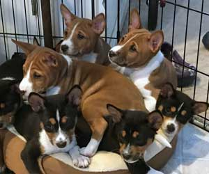 Oso on top of pile of basenji puppies